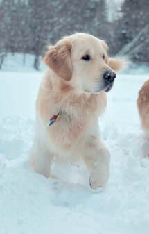 Salty Dogs Golden Retriever Puppies Home